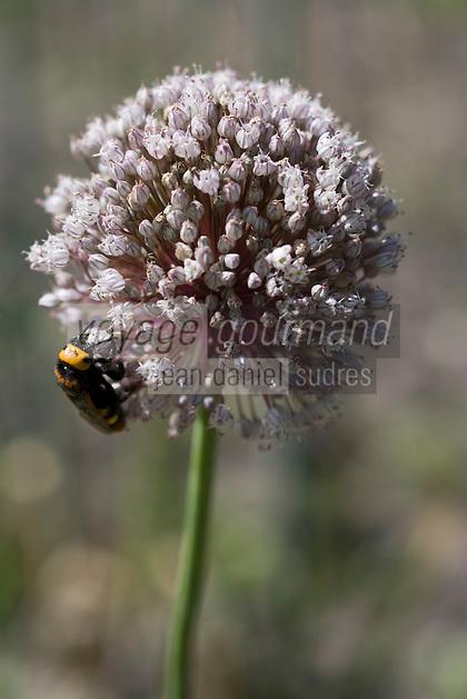 Europe/France/Aquitaine/40/Landes/ Lencouacq:   Fleur de poireau  dans le Jardin Potager de la Ferme Auberge du Jardin de Violette chez Violette Valés - agricultrice et restauratrice-La fleur de poireau est utilisée comme condiment