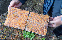 BNPS.co.uk (01202 558833)<br /> Pic: PhilYeomans/BNPS<br /> <br /> Tudor tiles found in the rediscovered foundations of Wolf Hall. <br /> <br /> Historic Wolf Hall, home to the Seymour family and star of Hilary Mantel's famous trilogy on Henry VIII th, has finally been definitively located after new discoveries around the much smaller ramshackle house that remains today. <br /> <br /> Despite it's fame, nobody really knew where the enormous Tudor pile actually was, or what it looked like, due to its very short but very influential existance in the middle of the tumultuous 16th century.<br /> <br /> Built with a million pound loan (&pound;2,400) from King Henry in 1531, brokered by Thomas Cromwell, the huge house was rapidly brick built in time for the King's pivotal visit with the court and troublesome wife Anne Boleyn in 1535, at which point Sir John Seymour's daughter Jane caught his eye, within a year Anne was dead and Jane, and the rest of the Seymour clan were in.<br /> <br /> They benefitted massively from Royal patronage and the dissolution of the monastries, but it all went wrong when Henry died and the brothers fell out and were later executed in a spectacular fall from power only 21 years after the house was built.<br /> <br /> Historian Graham Bathe and his team have now uncovered part of the outline of the original building, as well as the extensive Tudor brick sewer system that proves the huge scale of the 16th century mansion.