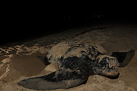 Endangered Leatherback Turtle taking a breath.nesting at Sandy Point Wildlife  Refuge.St Croix, U.S. Virgin Islands