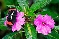 The Heliconius erato butterfly is also known as the Red Passion Flower Butterfly or Crimson-Patched Longwing resting on False Heather (Cuphea hyssopifolia) in the Butterfly Observatory, La Paz Waterfall Gardens and Peace Lodge, Costa Rica.