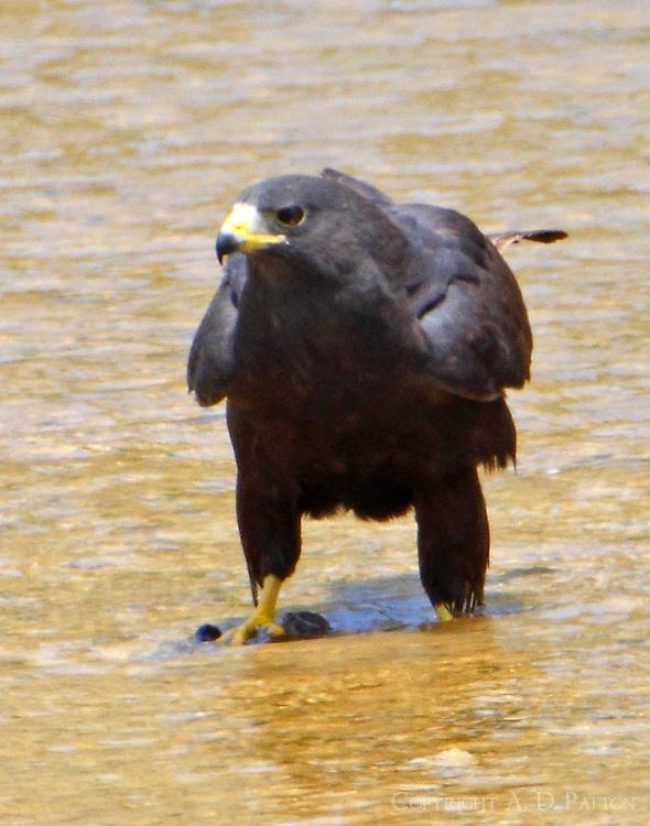 Zone-tailed hawk standing on kill in Colorado River