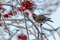 Winter photos of Bohemian waxwing birds eating and perching in mountain ash tree  Anchorage, Alaska<br /> <br /> Photo by Jeff Schultz/SchultzPhoto.com  (C) 2016  ALL RIGHTS RESVERVED