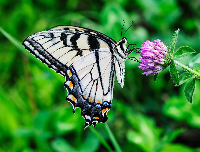 A tiger swallowtail butterfly feeds on a flower.