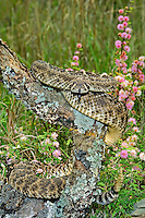 467010109 a wild western diamondback rattlesnake crotalus atrox lays coiled among grasses and fragrant mimosa wildflowers mimosa borealis in the hill country of central texas