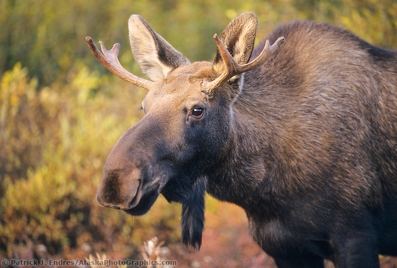 Young bull moose in Denali National Park, Alaska