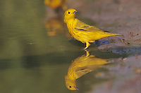 Yellow Warbler, Dendroica petechia,male, South Padre Island, Texas, USA, May 2005