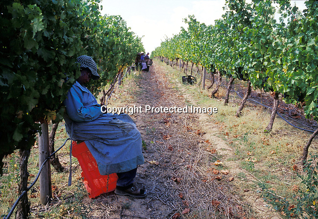 diwifar00504 .Winelands, woman, worker, farm, wine, sleeping, labor, labour. An unidentified woman takes a nap while working on the grape harvest outside Paarl, South Africa..©Per-Anders Pettersson/iAfrika Photos