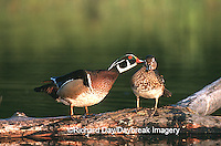 00715-028.08 Wood Ducks (Aix sponsa) Male preening Female on log in wetland Marion Co.   IL
