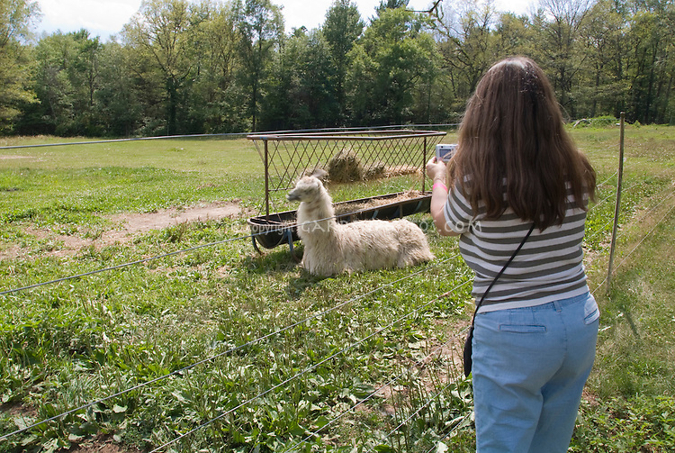 Visitor to llama farm, taking a picture of animal in the field behind barbed wire fencing, with feeding trough, lying down