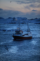 A fishing boat returns with its catch..The Lofoten is a very important fishing center, especially for the cod (skrei in Norwegian), attracted by the rich food brought by the Gulf Stream.