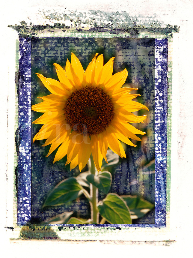 Sunflower with textured blue background and artistic edges.
