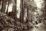 USA, California, people walking in the old growth redwood trees, Avenue of the Giants, Eureka (B&W)