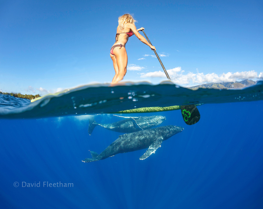 A split view of a woman on a stand-up paddle board and curious humpback whales, Megaptera novaeangliae, underwater off Maui, Hawaii.  This image is model released.