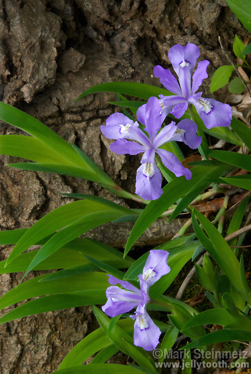 Dwarf Crested Iris (Iris cristata), Great Smoky Mountain National Park, TN, USA. A short spreading perennial native wildflower, this particular cluster found a hold next to a stream-side tree trunk in the crowded herbaceous layer of this rich forest.
