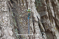 06347-001.01 Lance-tipped Darner dragonfly (Aeshna constricta) male on tree, McHenry Co,. IL
