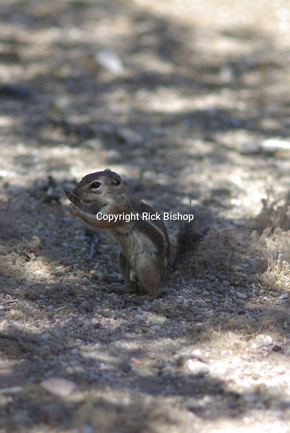 Harris's Antelope Squirrel seen standing guard on the desert floor in southern Arizona.