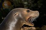 California Sea Lion, Zalophus californianus,female