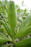 INDONESIA, Mentawai Islands, Kandui Resort, close-up of rain drops on plant