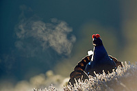 12.04.2009.Black Grouse (Tetrao tetrix) displaying on a bog. Lekking behaviour. Courting. Expiring warm air on a cold morning.  Frost..Bergslagen, Sweden.