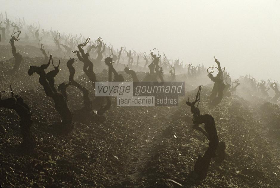Europe/France/Pays de la Loire/Maine-et-Loire/Environ d'Angers : AOC Anjou Savennières  (Coulée de Serrant) - Vignes et brume