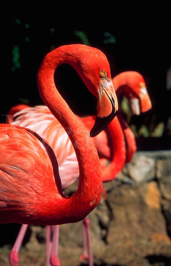 Pink flamingoes at the Ardastra Zoo. Nassau, Bahamas.