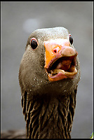 BNPS.co.uk (01202 558833)<br /> Pic:  DeniseAndrews/BNPS<br /> <br /> This wild-foul mouthed goose gives a new meaning to the term angry bird.<br /> <br /> Nature lover Denise Andrews was visiting her local park in Poole, Dorset, to feed the ducks and take some photos of the wildlife when she encountered the bad tempered greylag goose.<br /> <br /> Denise crept to within a few inches of the male and captured the moment it squawked in her face - revealing several rows of of sharp teeth including two on its tongue.