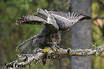 Great gray owl fledgling stretching wings. Grand Teton National Park, Wyoming.