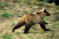 Grizzly bear cub (Ursus arctos), Northern Rockies.  June.