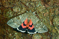 Rotes Ordensband, Schmetterling des Jahres 2015, Catocala nupta, Phalaena nupta, Red Underwing, Red Underwing Moth, lichénée rouge