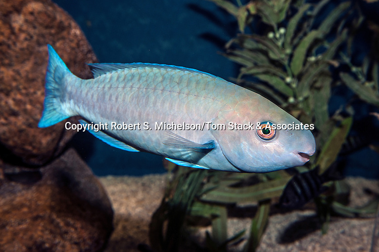 blue parrotfish swimming right