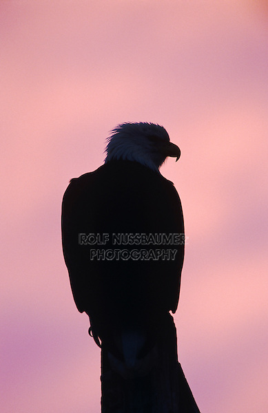 Bald Eagle, Haliaeetus leucocephalus,adult at dawn sunrise, Homer, Alaska, USA, March 2000