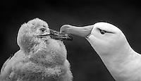 Thalassarche melanophris<br />