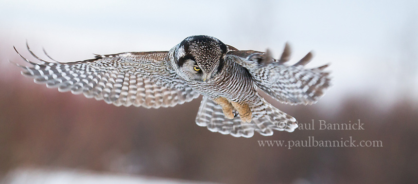 Northern Hawk Owls use hovering more than most other owls, particularly when prey is hidden by snow. (Minnesota)