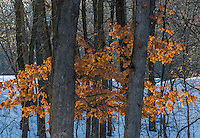 The last vestiges of fall, Oak leaves hang on into winter at Wyalusing State Park in Grant County, Wisconsin