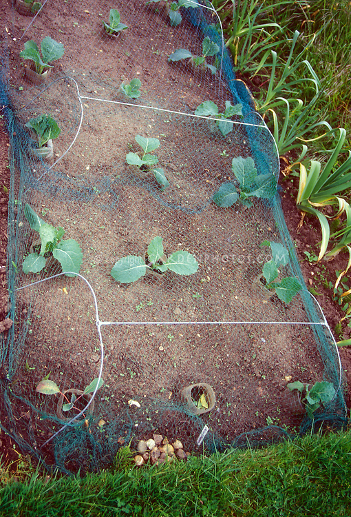 Keeping critters away from seedling Brassica cool weather cole crop garden plants with protective structure, preventing animals such as rabbits, dogs, raccoons, deer, from destroying vegetables and fruits