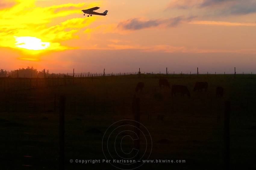 A small private aircraft plane airplane taking off over the horizon against a fiery orange sky in the evening at sunset. Below - a field of grazing black angus bulls. Montevideo, Uruguay, South America