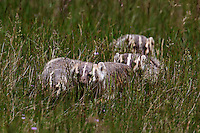 Three Badger kits follow their mother across a meadow in Rocky Mountain National Park, Larimer County, Colorado.