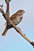 Fox Sparrow - Passerella iliaca