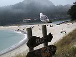 Viajes. Galicia. Islas Cies. Gaviota. Seagull September 3,2018.(ALTERPHOTOS/Acero)