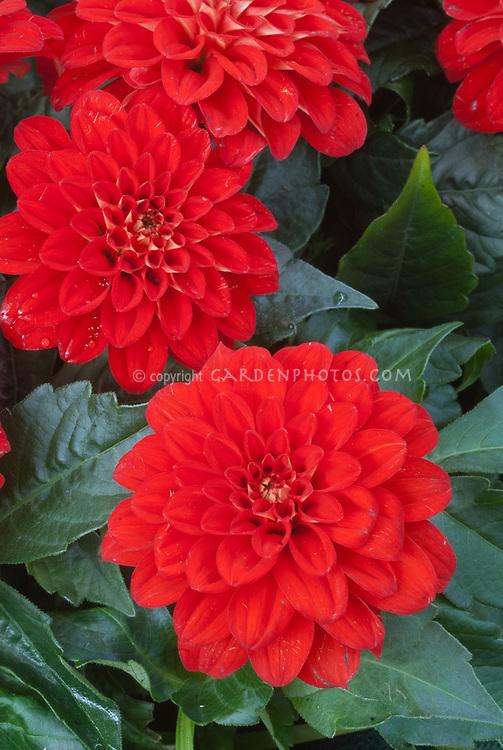 Dahlias Bermuda Beach Plant Flower Stock Photography