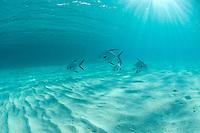 Palometa fish in shallow water .Trunk Bay, US Virgin Islands.St John