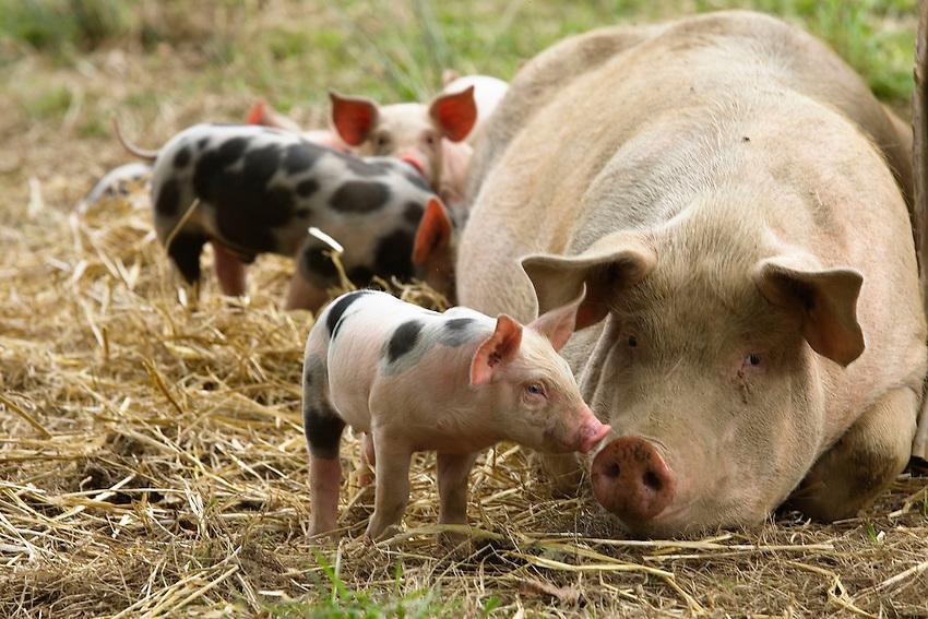 Chez Yves LE BORGNE Naisseur de porcs en plein air