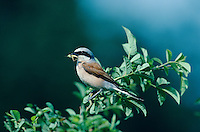 Red-backed Shrike, Lanius collurio, male with grasshopper prey, Oberaegeri, Switzerland, May 1995