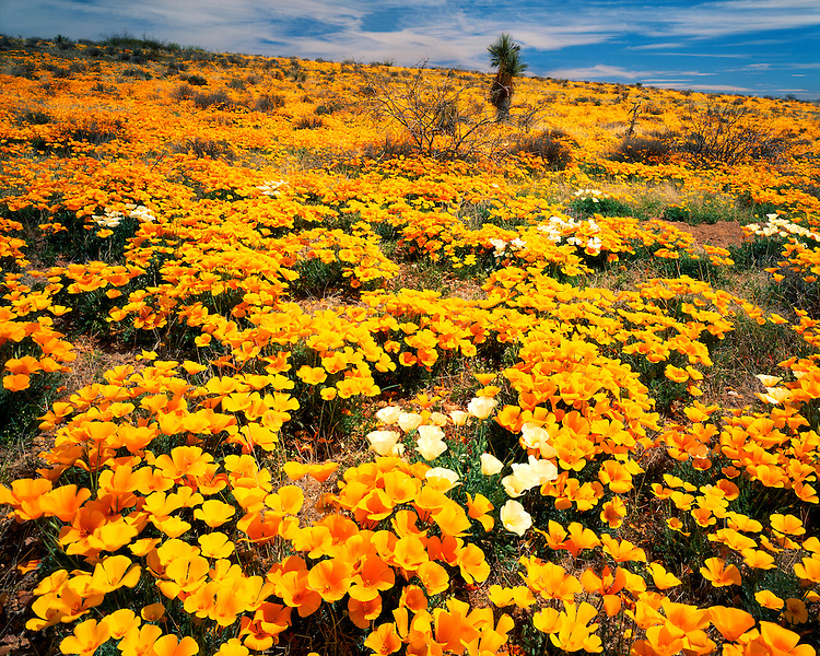 Field of Mexican Goldpoppies (Eschscholzia mexicana) in bloom in the Pinaleno Mountains; Cochise County, AZ