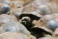 MUS, Mauritius, bei Rivière des Anguilles, La Vanille Crocodile Park & Nature Reserve: Riesenschildkroeten | MUS, Mauritius, near Rivière des Anguilles, La Vanille Crocodile Park & Nature Reserve: giant turtles
