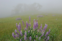 Riverbank lupine and Oregon oak<br />