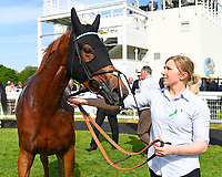 Tamreer and groom in the winners enclosure after winning  The Smith & Williamson Fillies' Novice Stakes (Class 5))  during Afternoon Racing at Salisbury Racecourse on 17th May 2018