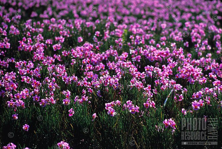 A beautiful field of hundreds of purple vanda orchids on Oahu.