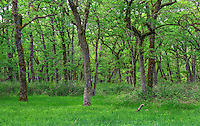 ORWVS_D110 - USA, Oregon, Sauvie Island Wildlife Area, Grove of Oregon white oak trees above spring flora at Oak Island.