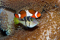 Waikiki Aquarium's more popular residents include the Mimic Filefish  and the Clown Anemonefish (background).